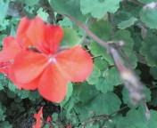 赤い四つ葉のクローバー?