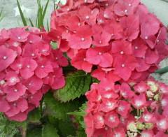 梅雨時の花。